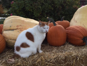 Plumper Farm Pet Cat named Handsome